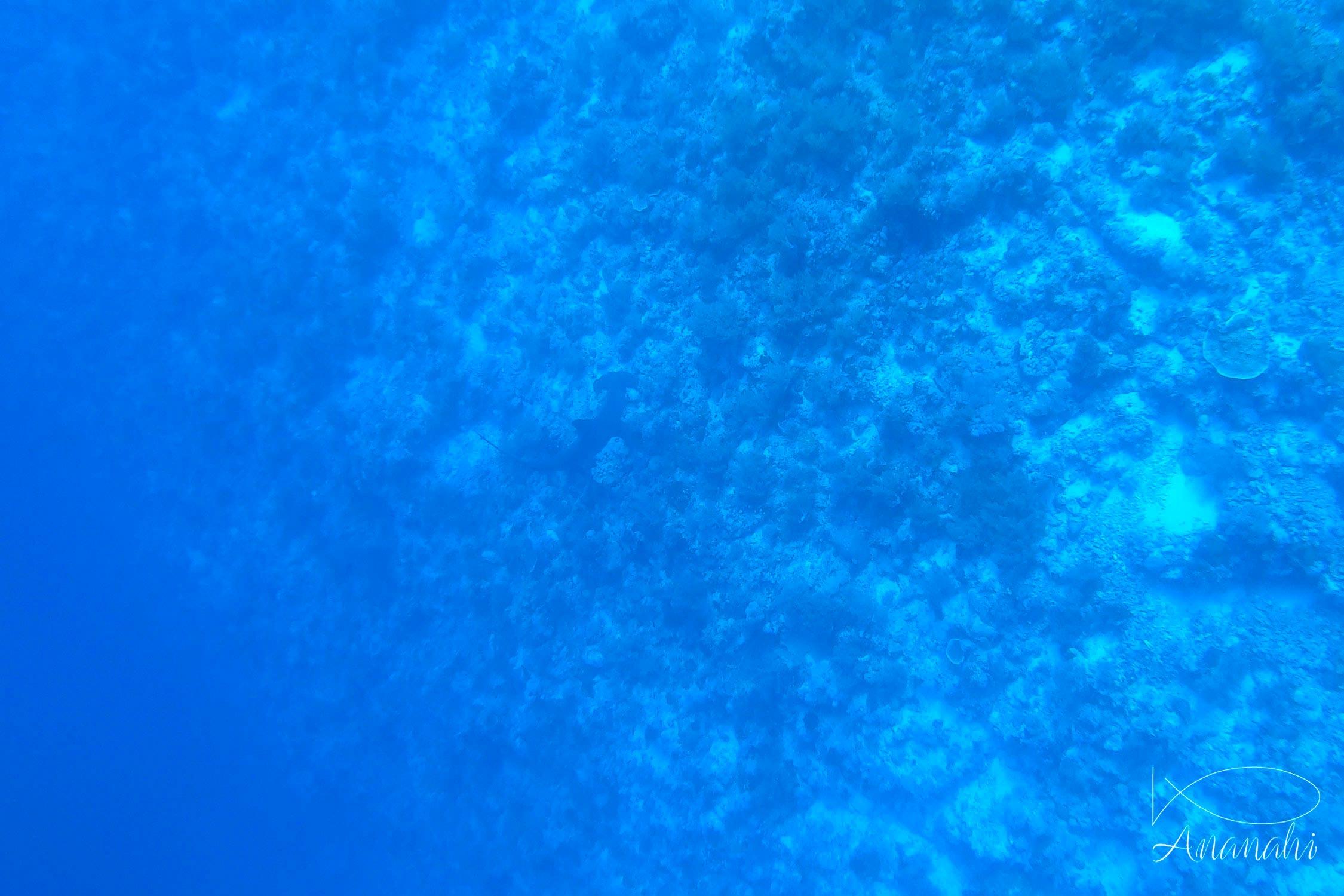 Requin marteau halicorne de Egypte