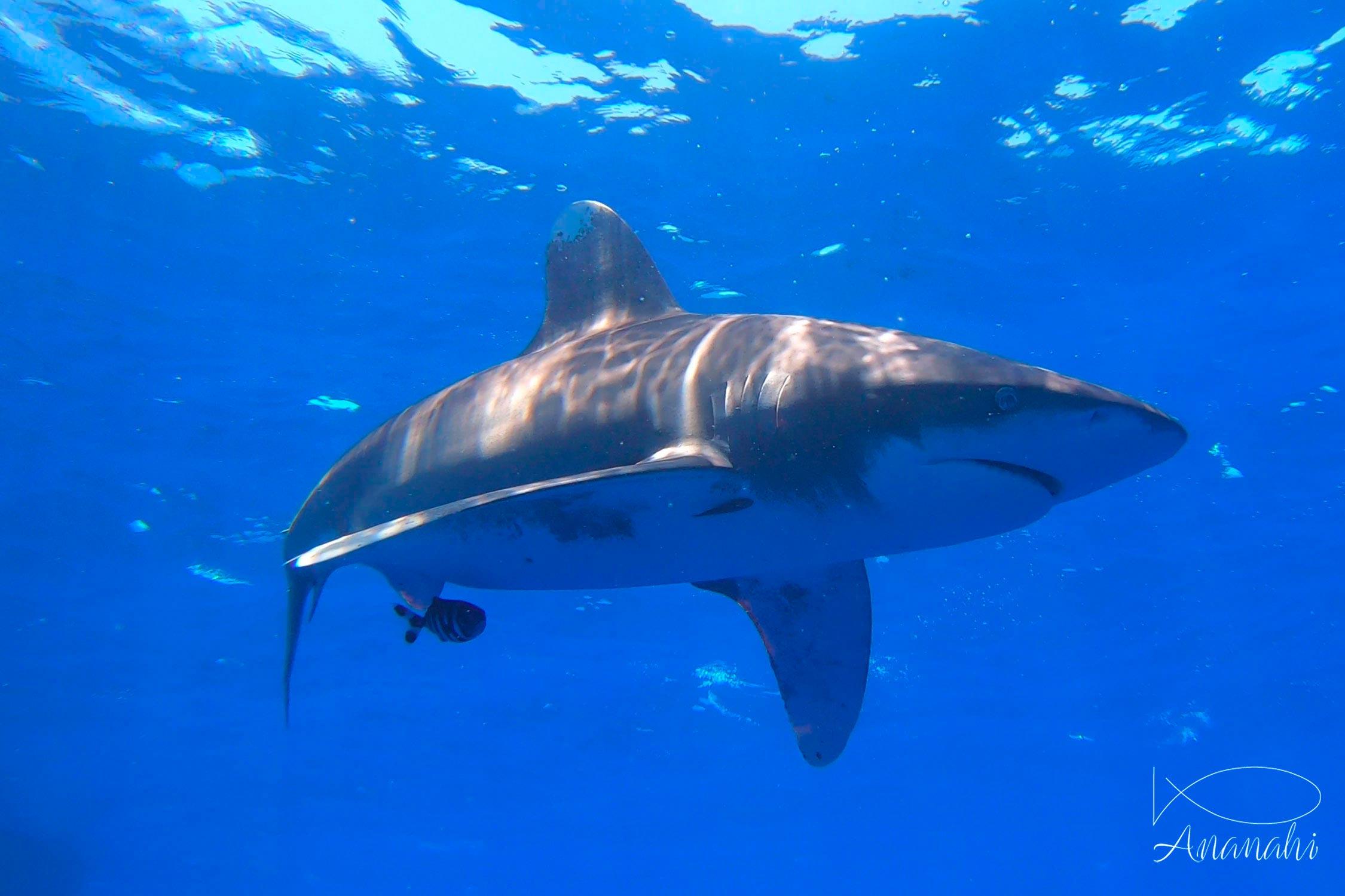 Requin océanique à pointes blanches  de Egypte