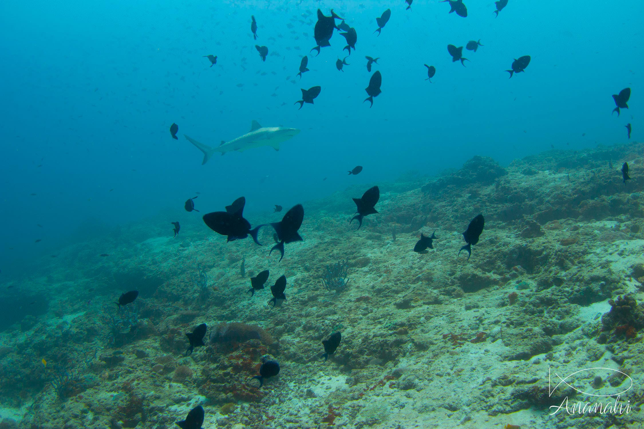 Requin gris de récif (dagsit) de Maldives