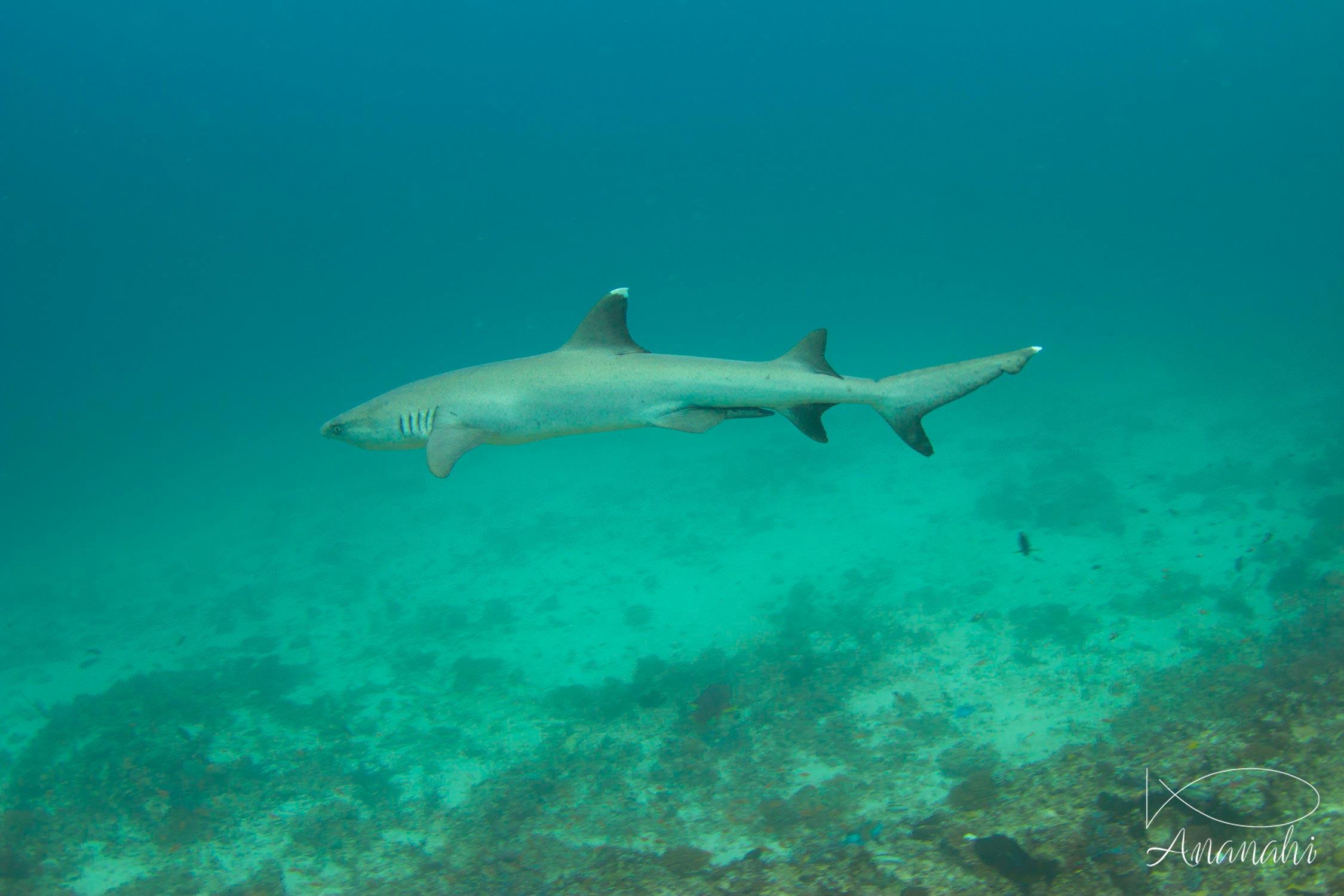 Requin à pointes blanches de Maldives