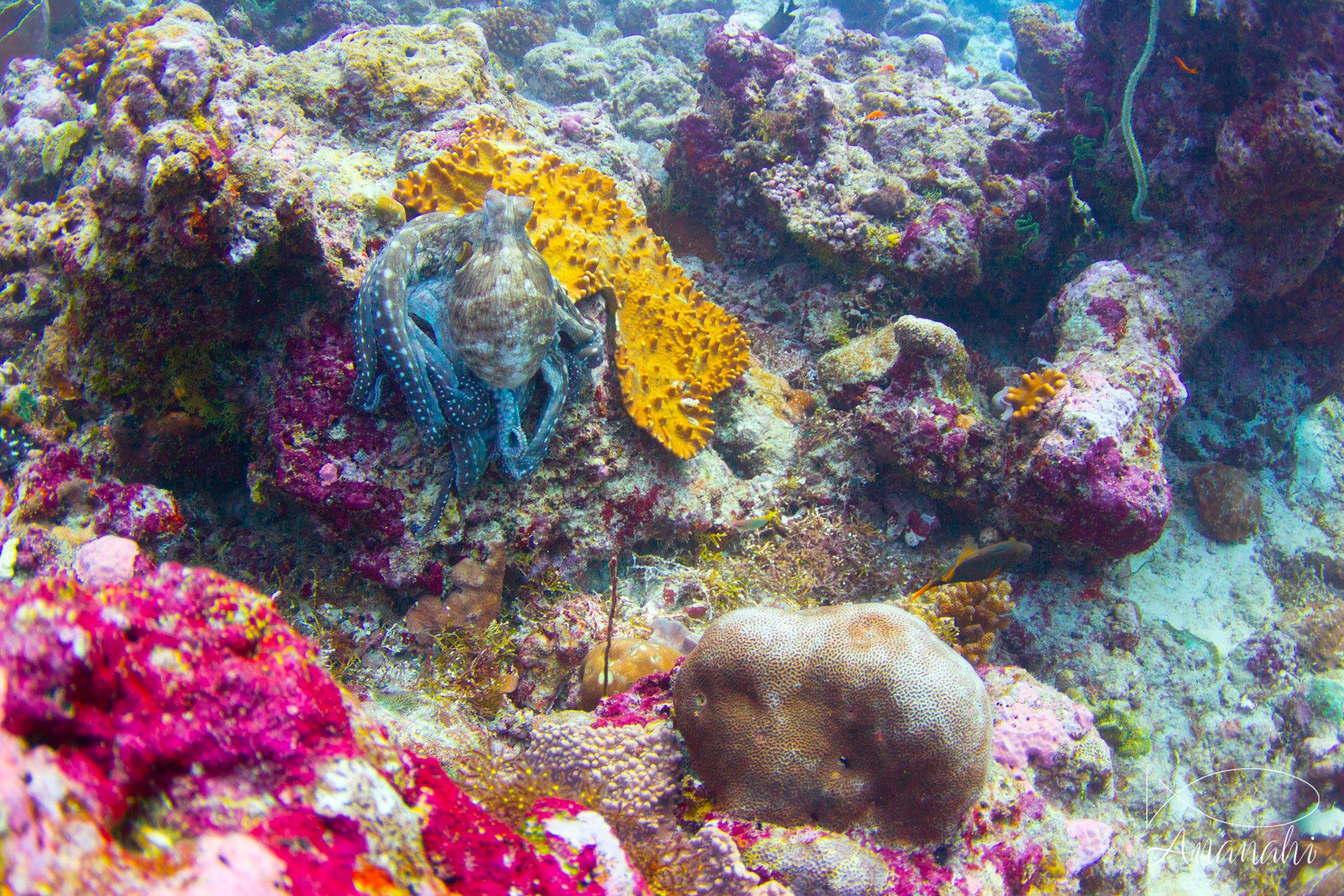 Poulpe de récif de Maldives