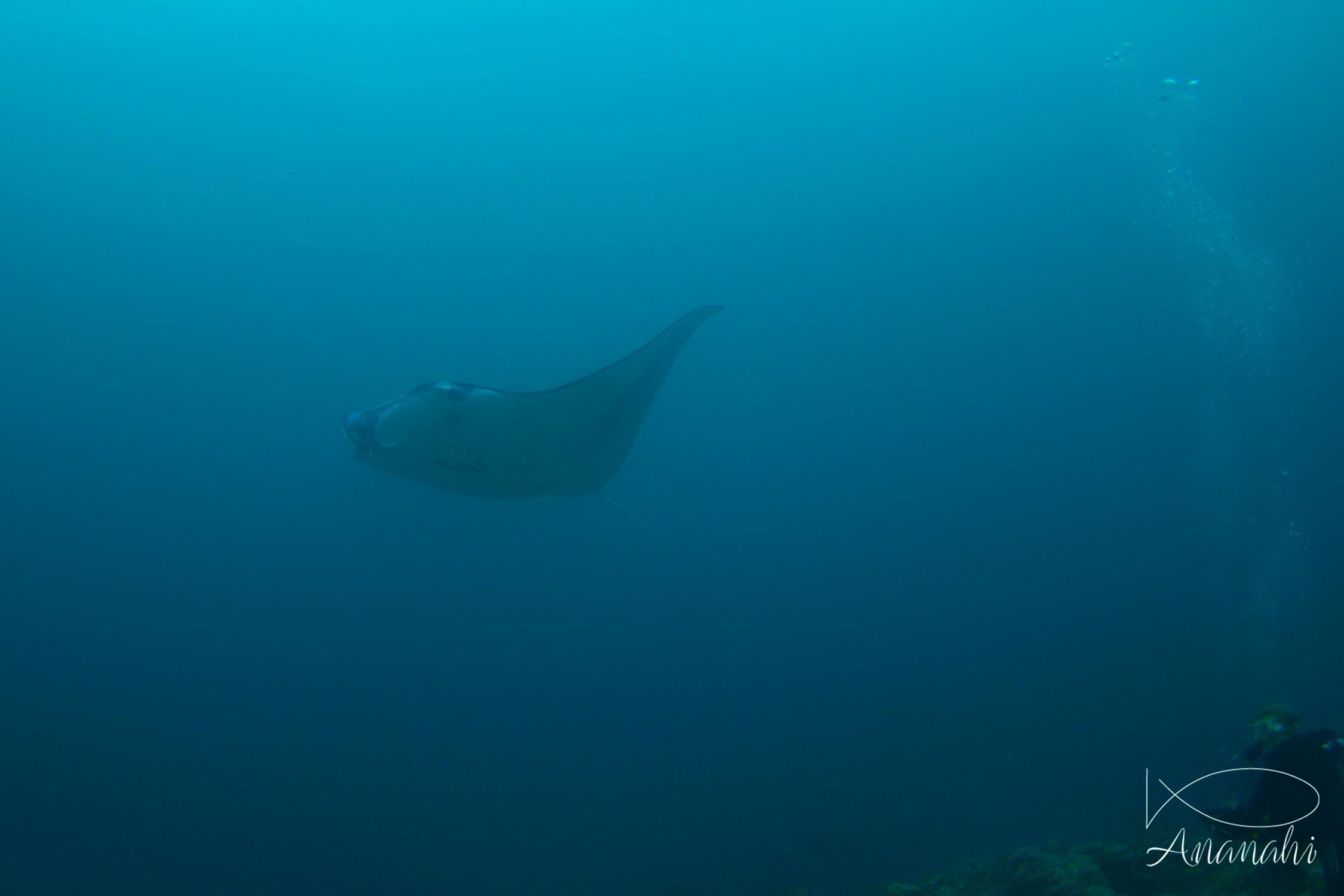 Raie manta de Maldives