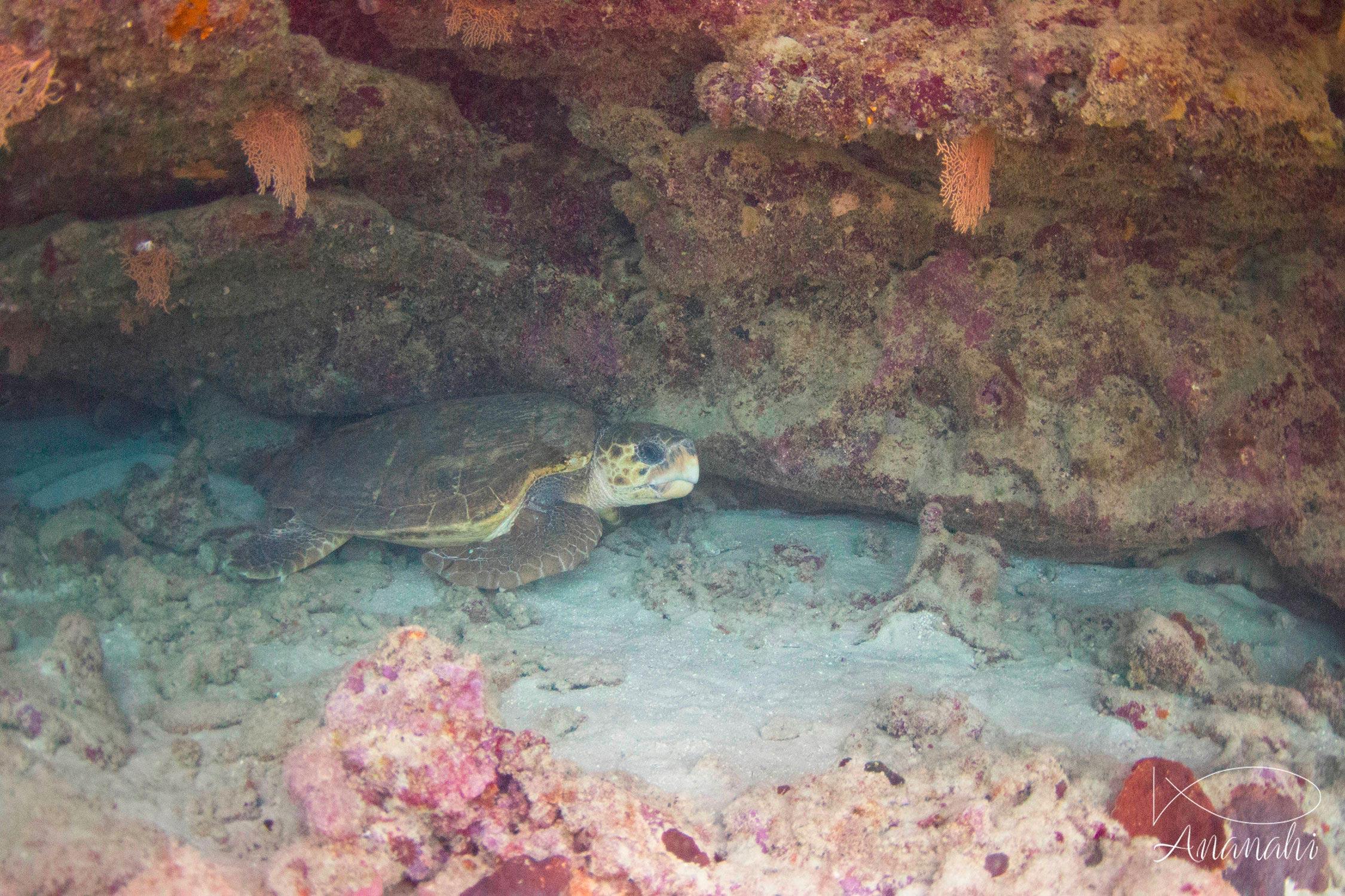 Tortue caouanne de Mayotte