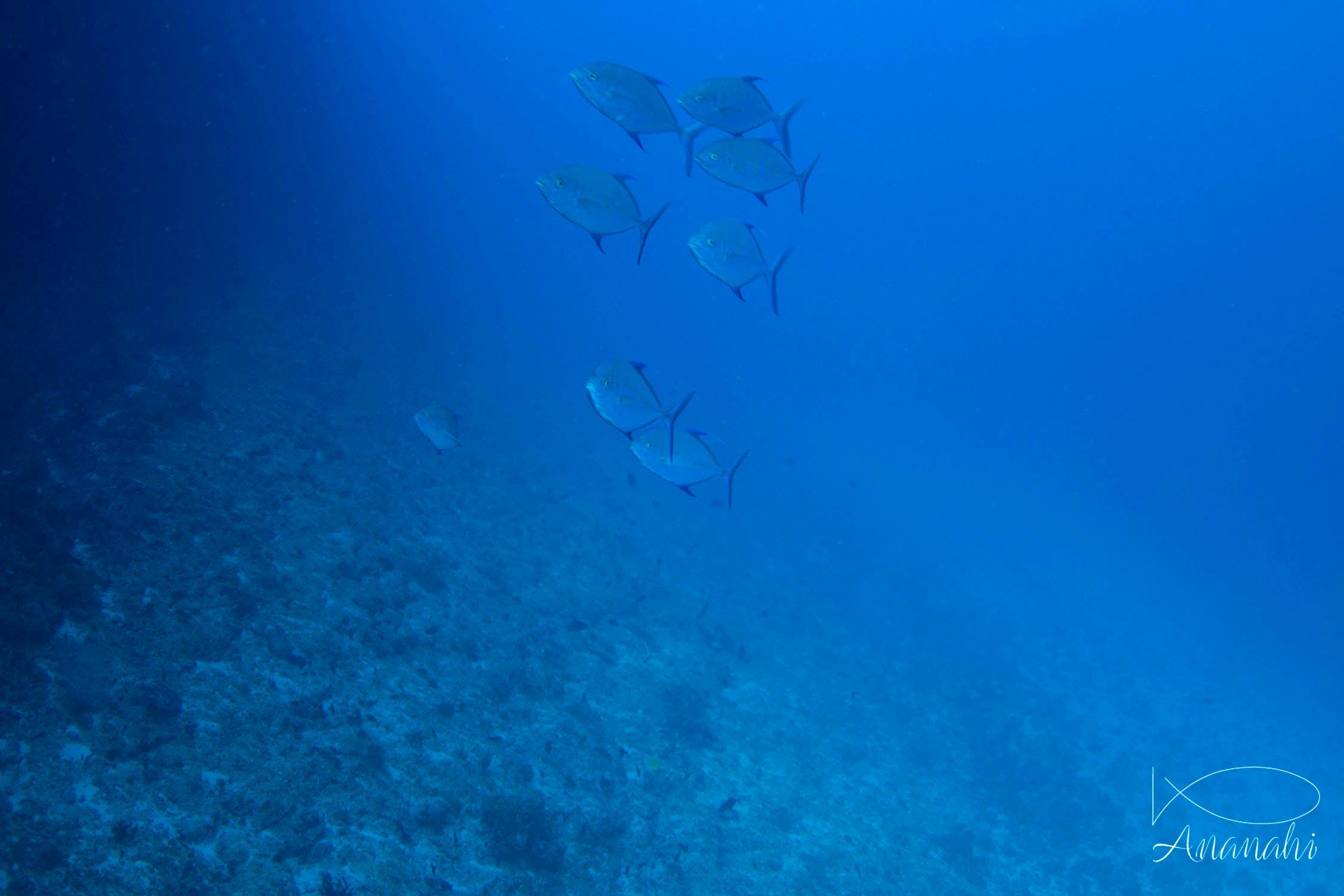 Carangue bleue de Mayotte