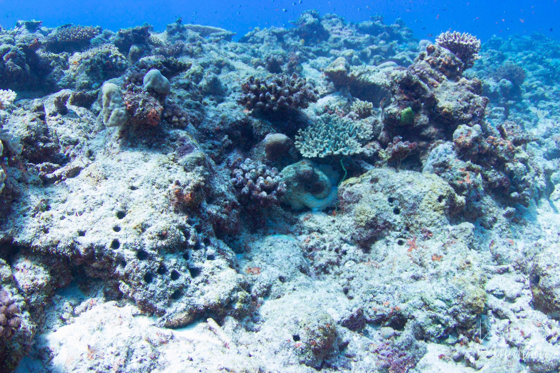 Poulpe de récif de Mayotte