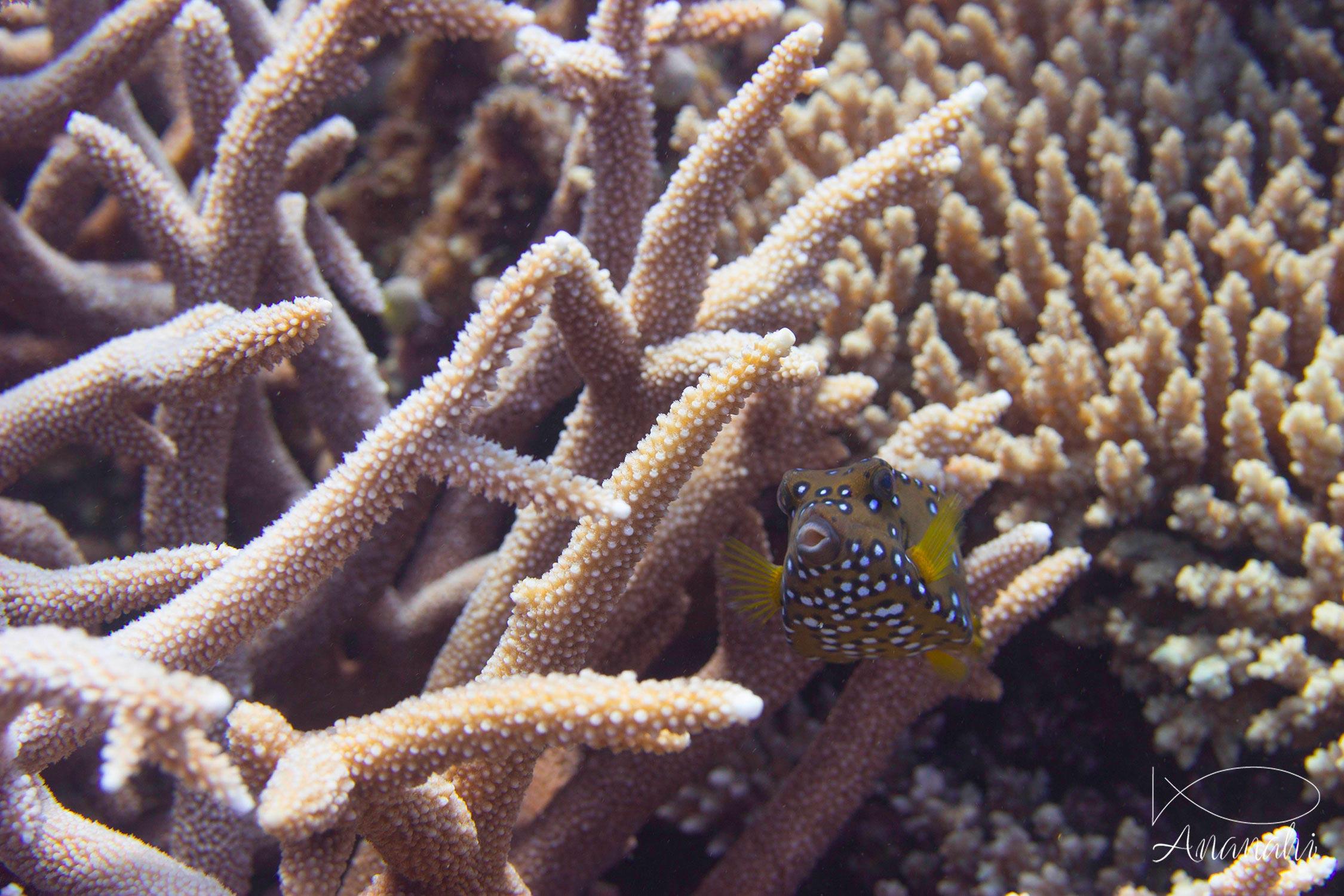 Poisson coffre jaune de Mayotte