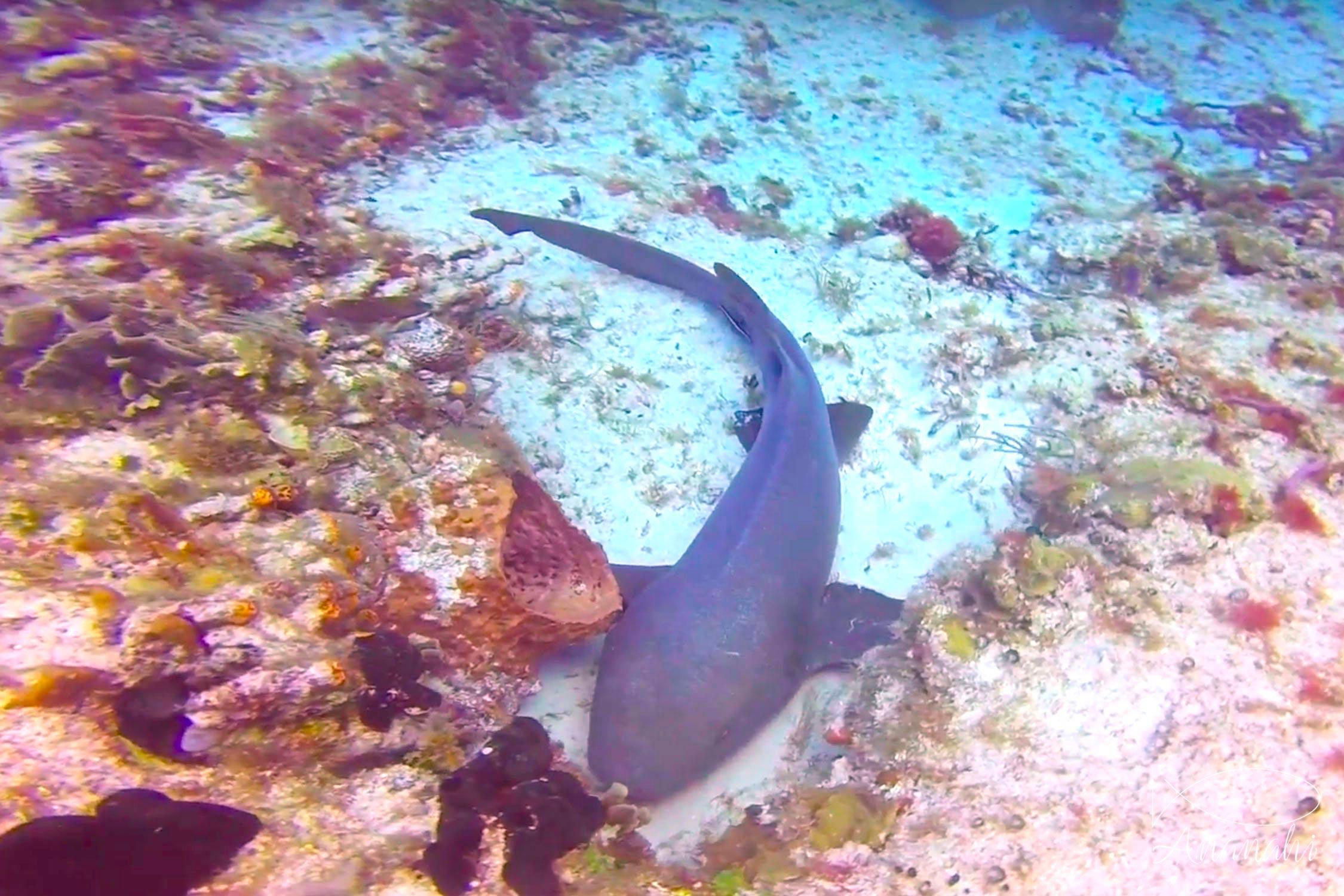 Requin nourrice fauve de Mexique