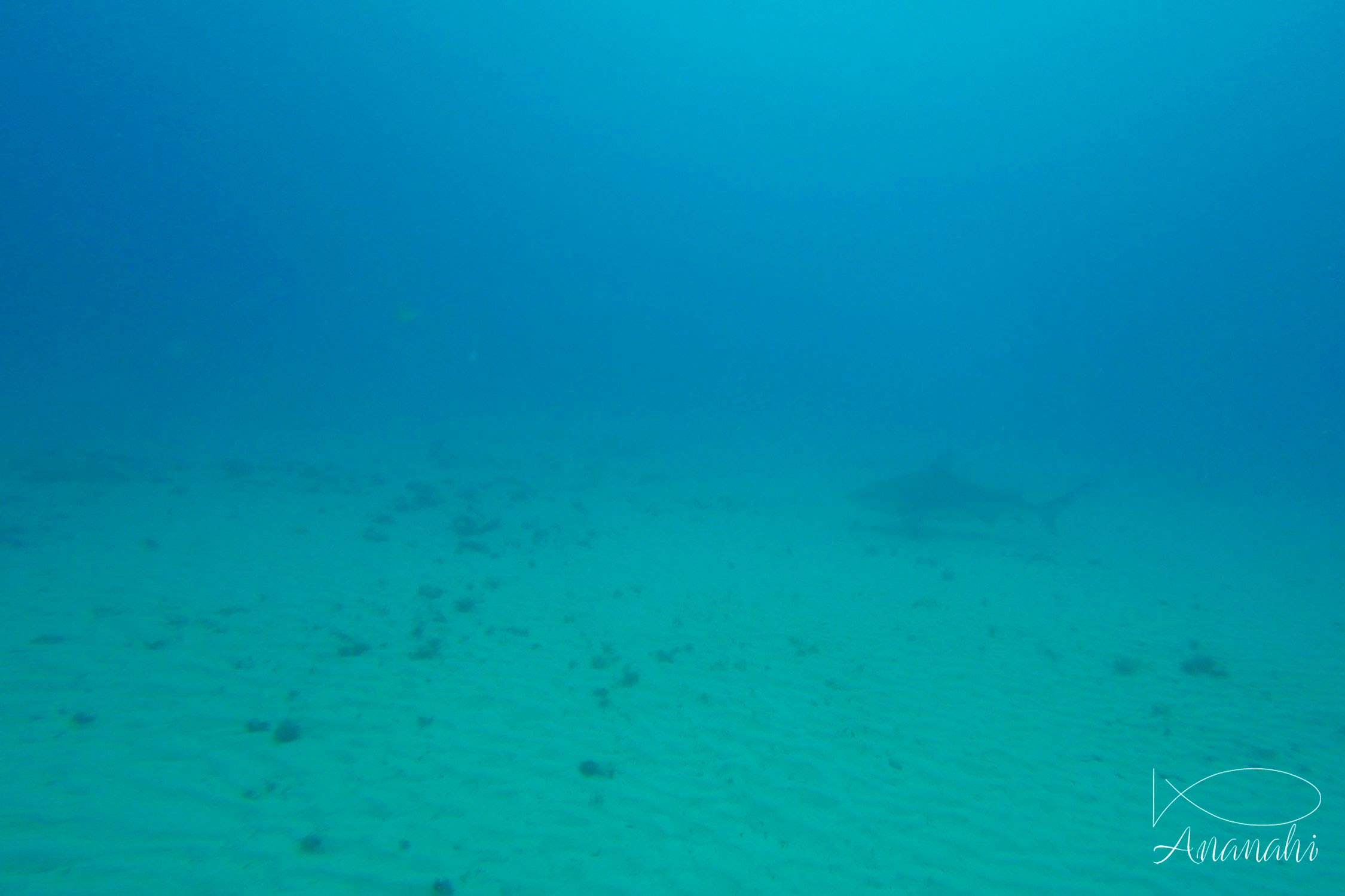 Requin bouledogue de Mexique