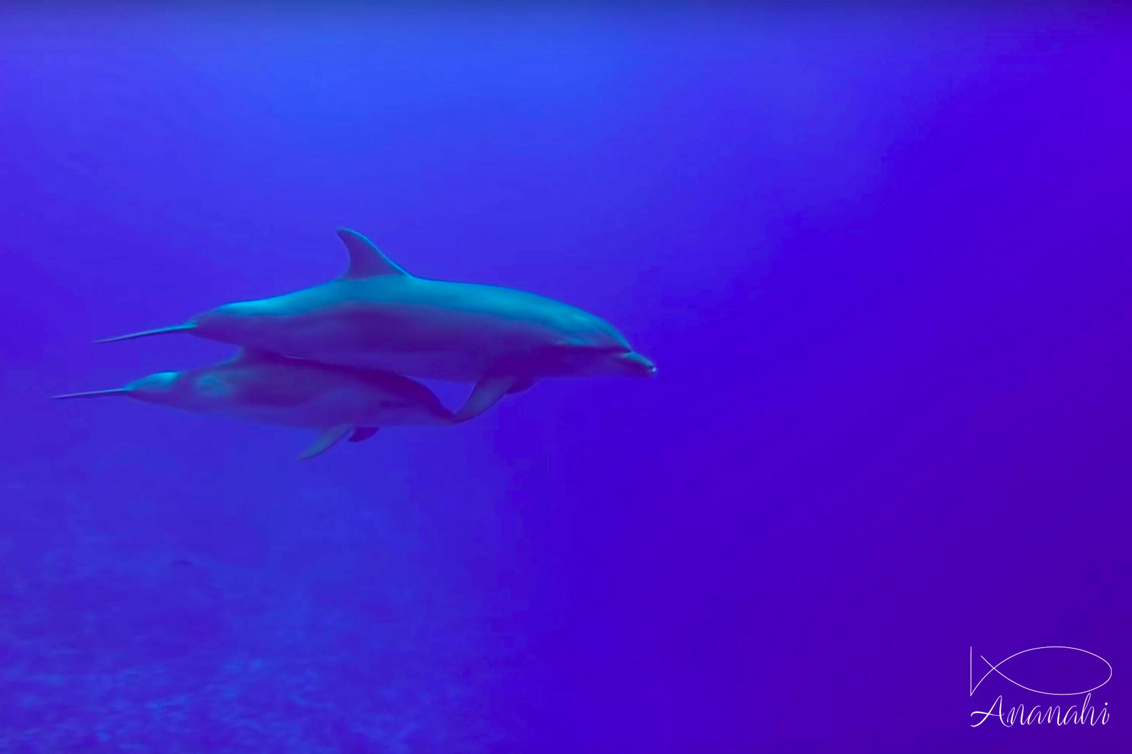 Grand dauphin de Polynésie française