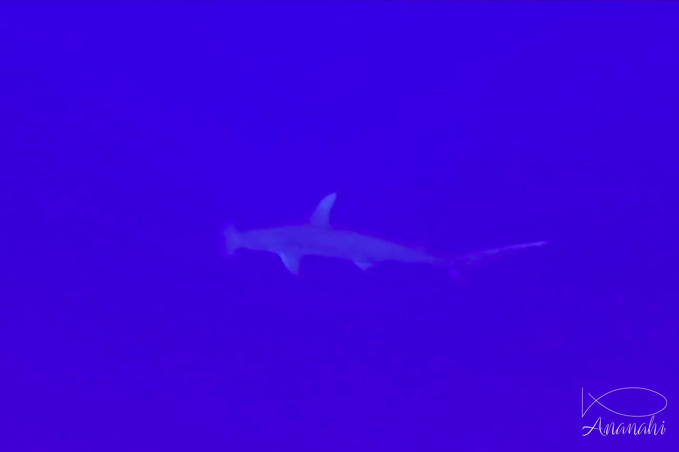 Grand requin marteau de Polynésie française