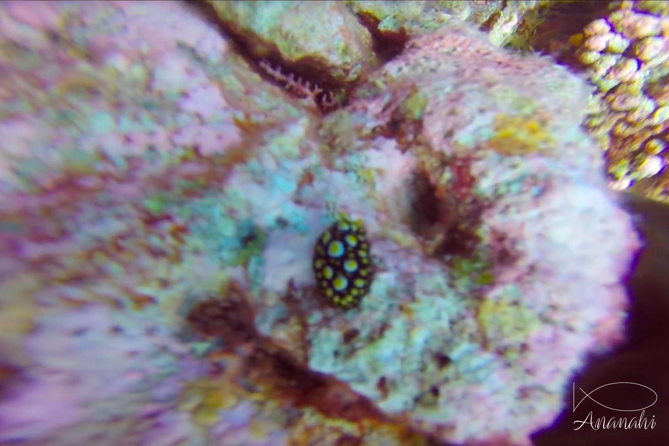 Phyllidie tula de Polynésie française