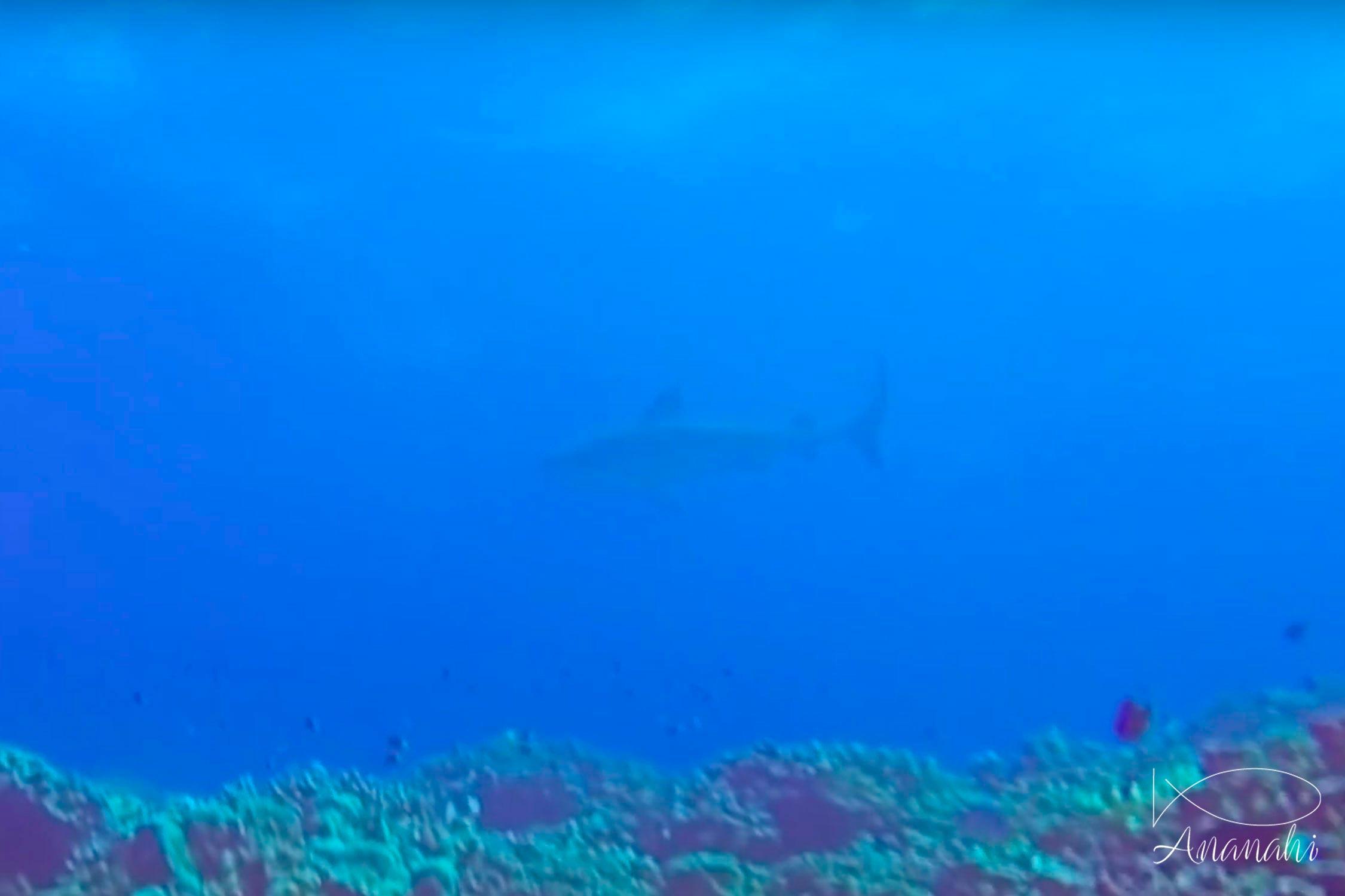 Requin tigre de Polynésie française