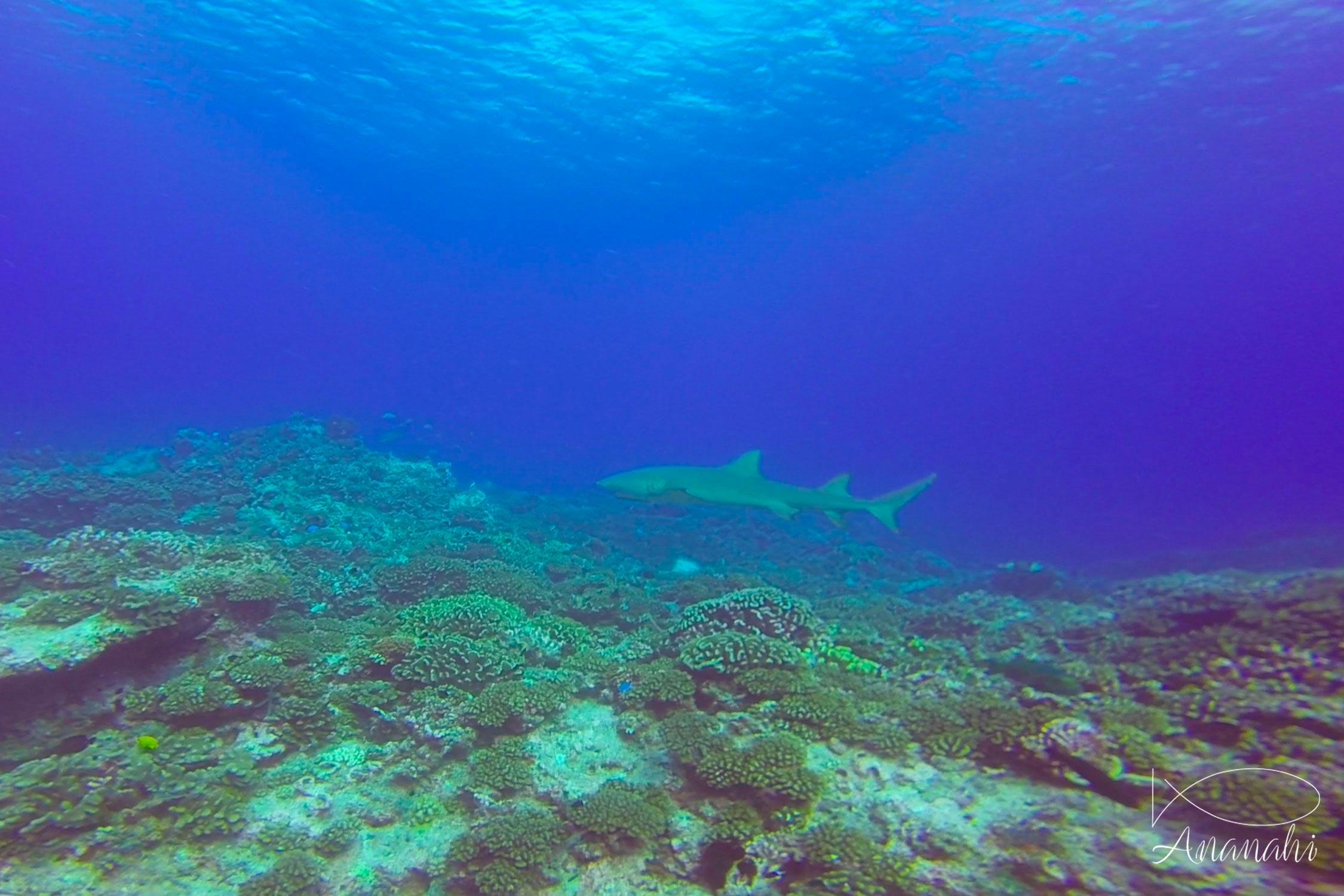 Requin citron faucille de Polynésie française