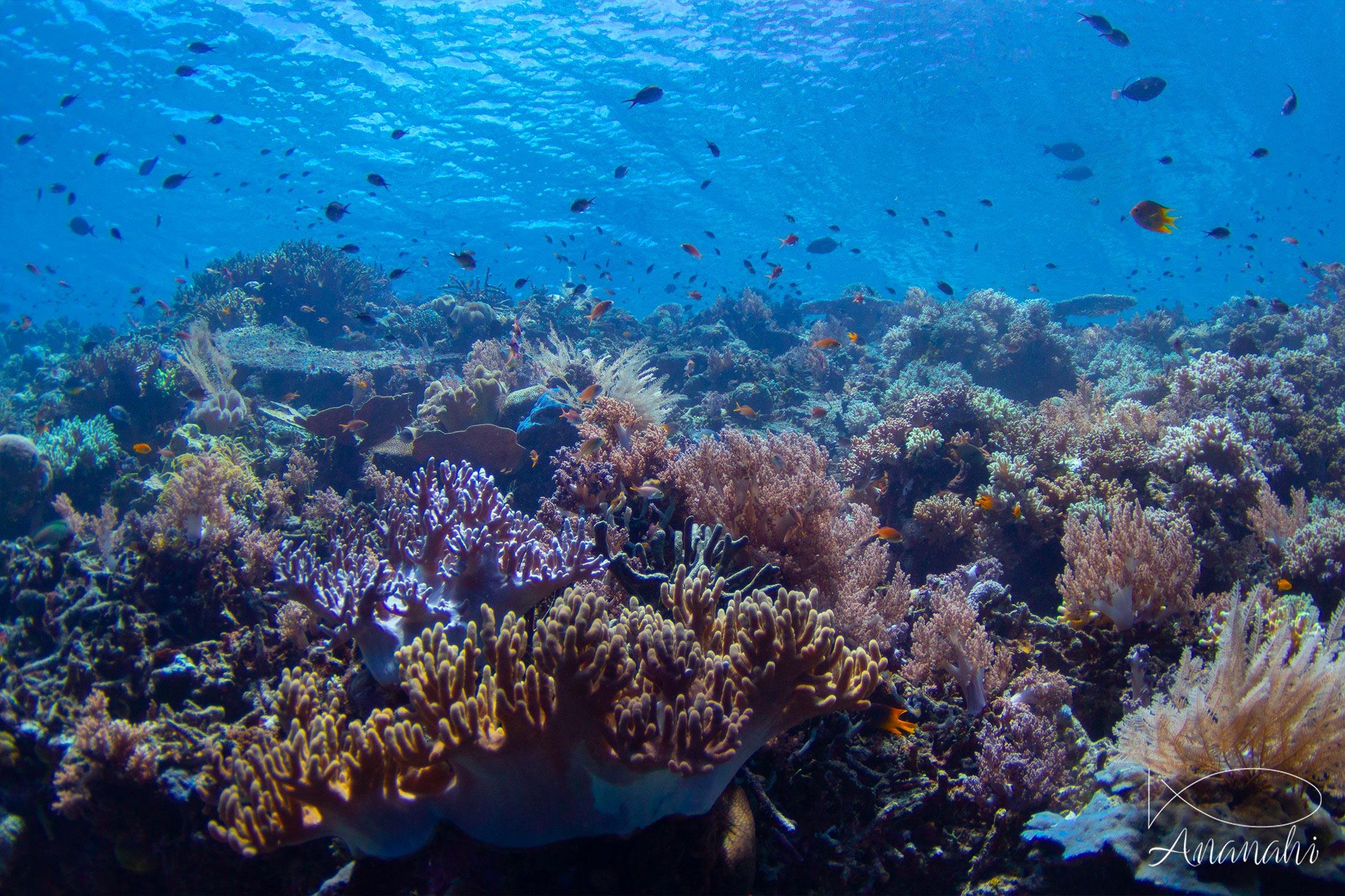 Coraux divers de Raja Ampat