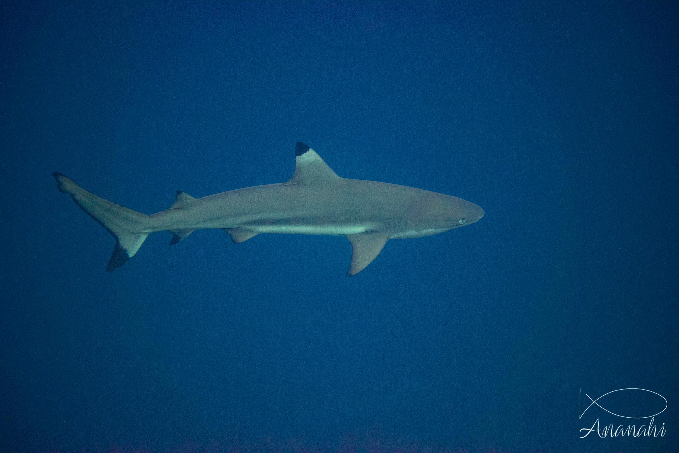 Requin de récif à pointes noires de Raja Ampat