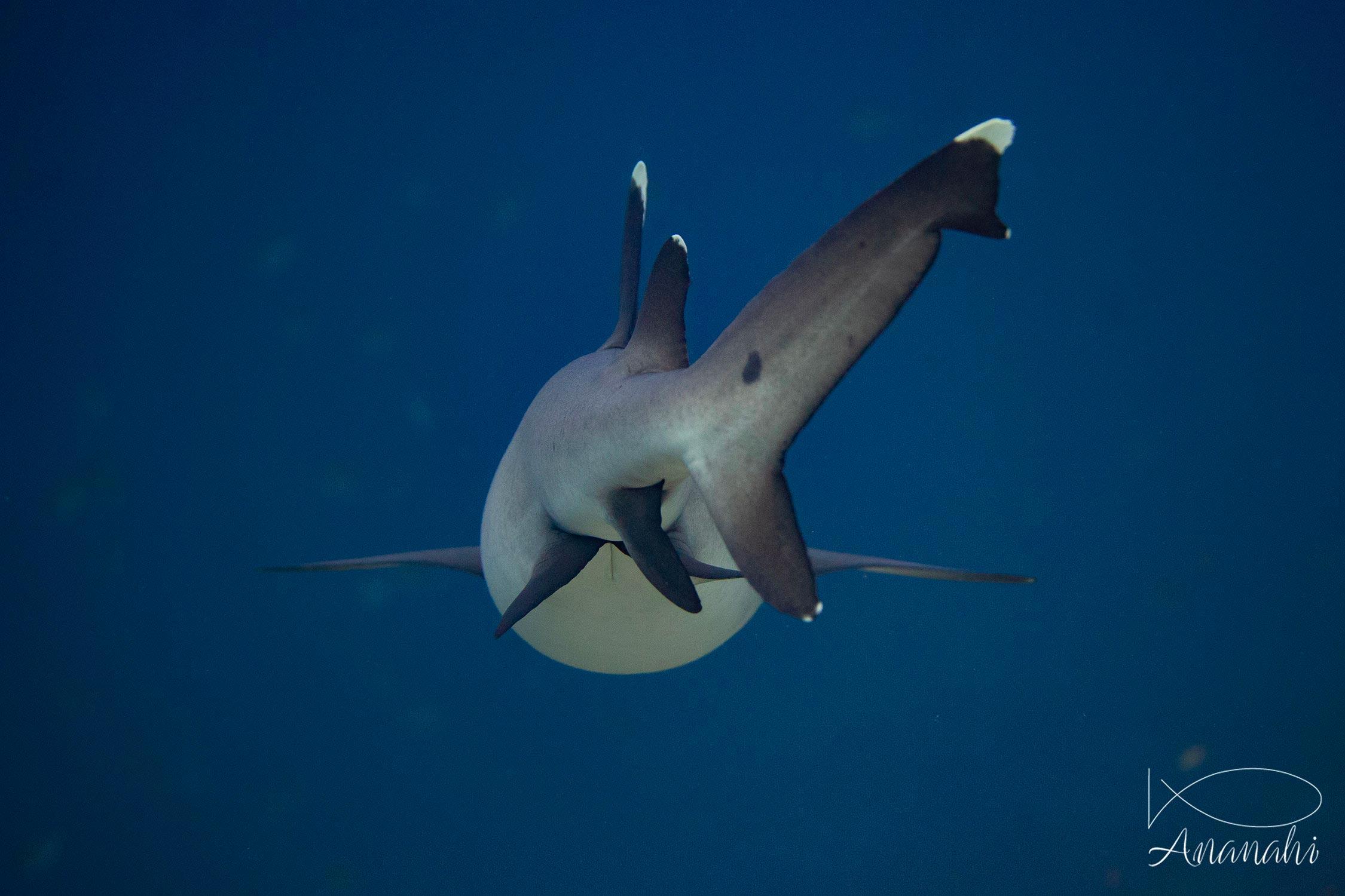 Requin à pointes blanches de Raja Ampat
